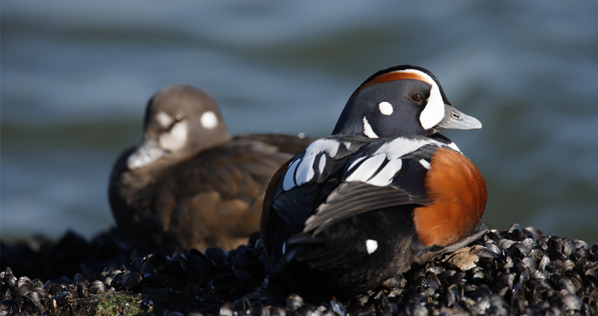 Mapping the Migration of Harlequin Ducks