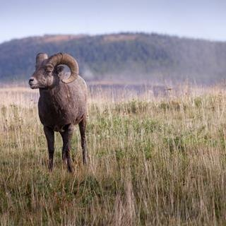Sheep Sharing: Teck Transplants Bighorn Sheep Across North America