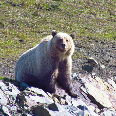 Protecting Grizzly Bears near our Cardinal River Operations