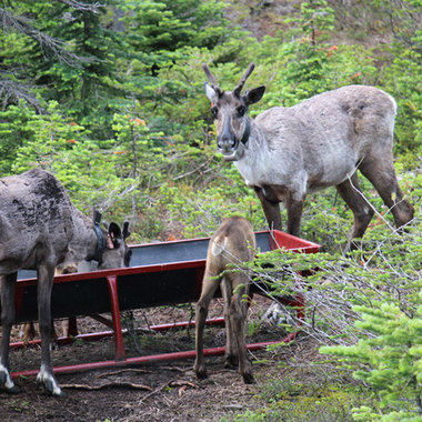 Working Together to Support the Recovery of the Threatened Klinse-Za Caribou Herd