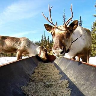 Caribou Penning Program Helps Recovery of Threatened Klinse-Za Herd