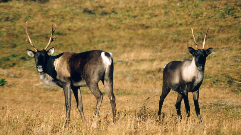 Working Together to Protect the Woodland Caribou
